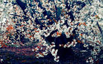 A beautiful White Cherry Blossom Tree Wallpaper