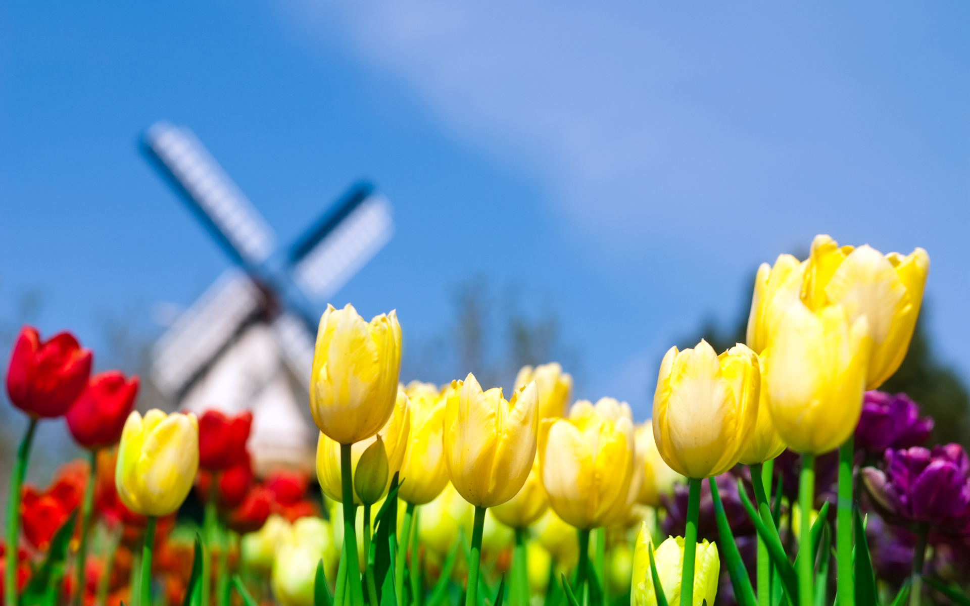 Daily Wallpaper Tulips In Netherlands