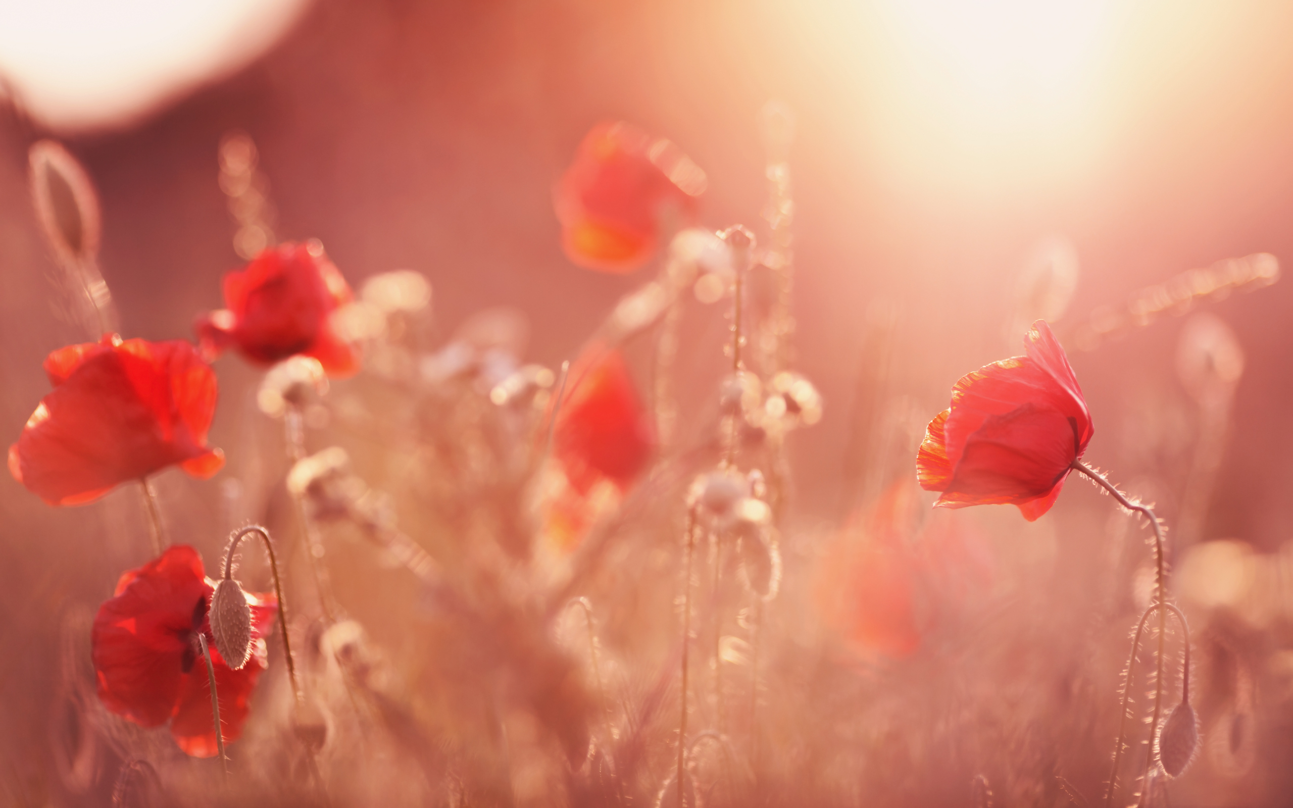 daily wallpaper: sunset poppy field | i like to waste my time
