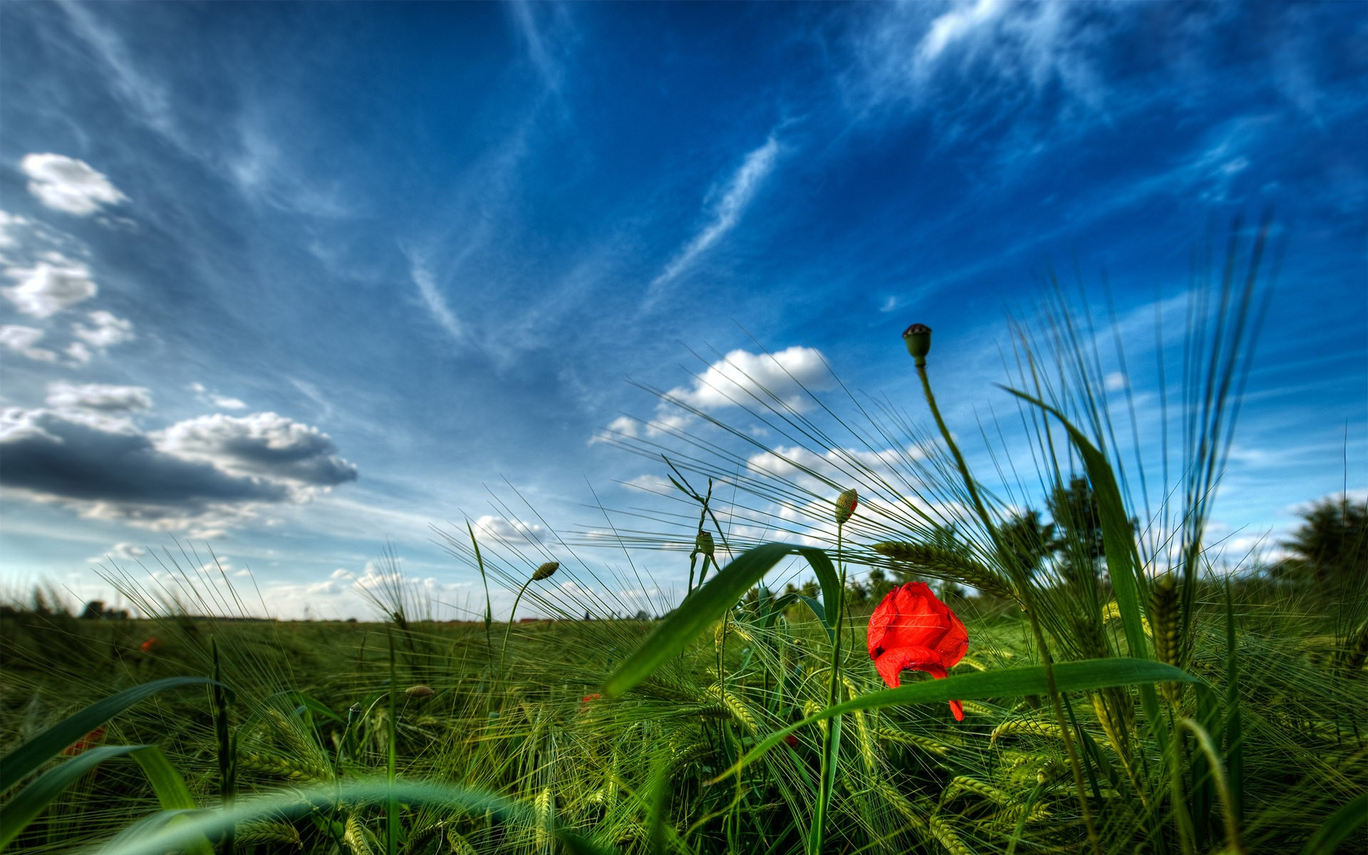 wallpaper, fields, poppy, pictures, daily, sites