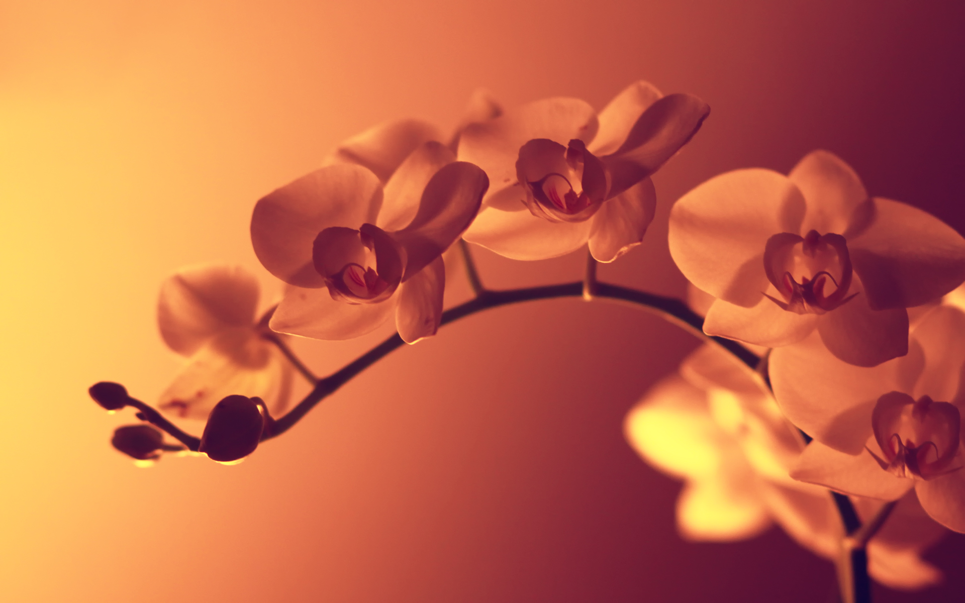Daily wallpaper wild orchid i like to waste my time - White orchid flowers desktop wallpapers ...